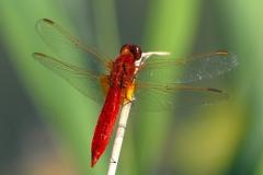 feuerrote Libelle an einem Halm sitzend SAWalter