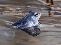 blauer Moorfrosch im Wasser Eckard Baumann